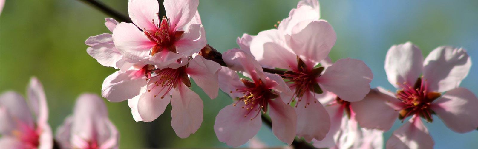 Kirschblüte auf Mallorca