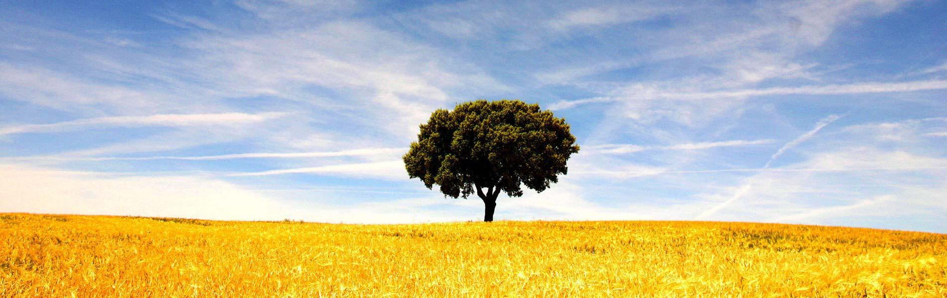 Einzelner Baum im Weizenfeld
