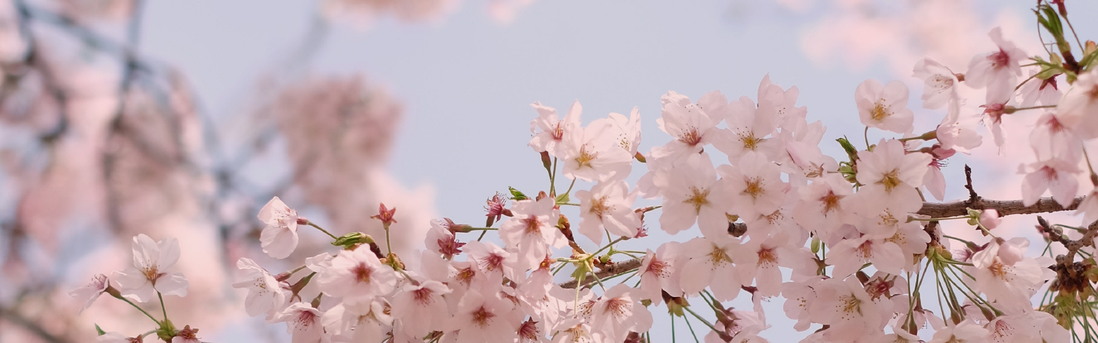 Mandelblüte auf Mallorca - jedes Jahr im Januar und Februar ein Spektakel